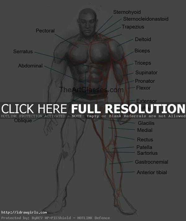 man muscles anatomy front view for artists